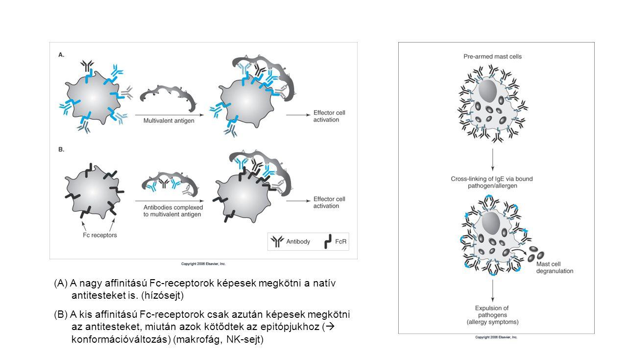 (A) A nagy affinitású Fc-receptorok képesek megkötni a natív antitesteket is. (hízósejt)