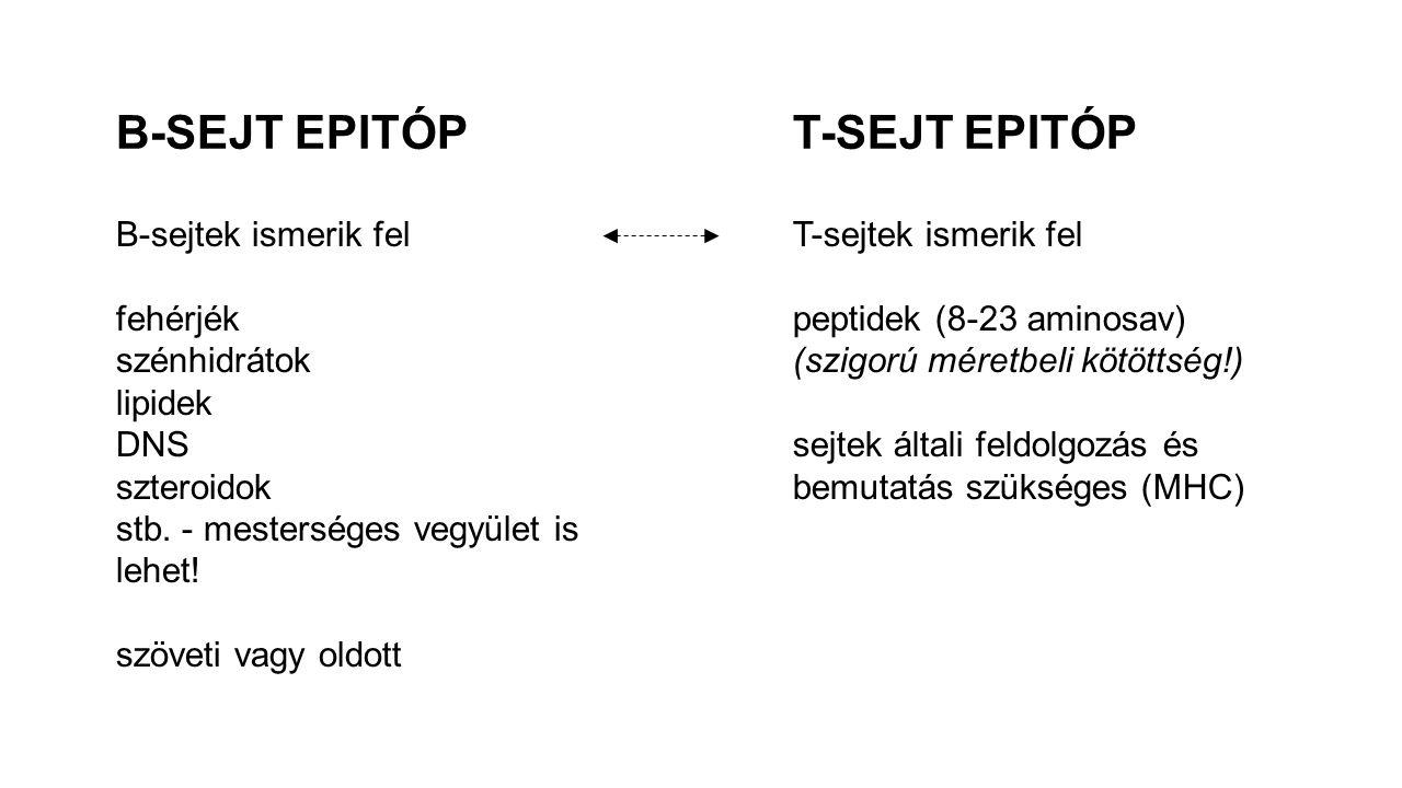 B-SEJT EPITÓP T-SEJT EPITÓP B-sejtek ismerik fel fehérjék szénhidrátok