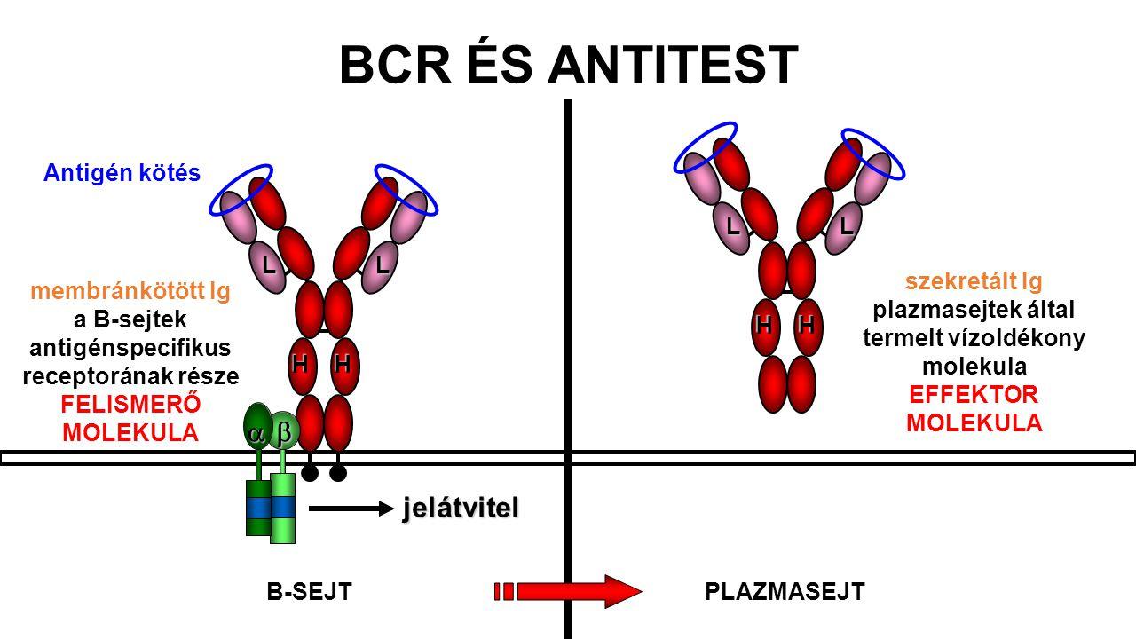 BCR ÉS ANTITEST b a jelátvitel H L Antigén kötés H L szekretált Ig