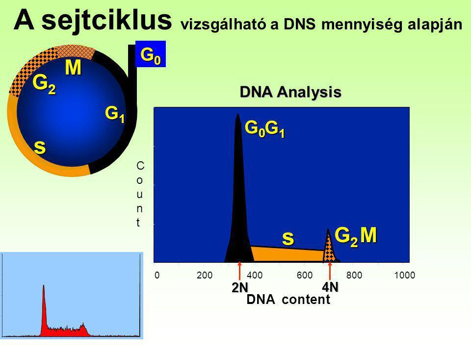 A sejtciklus vizsgálható a DNS mennyiség alapján