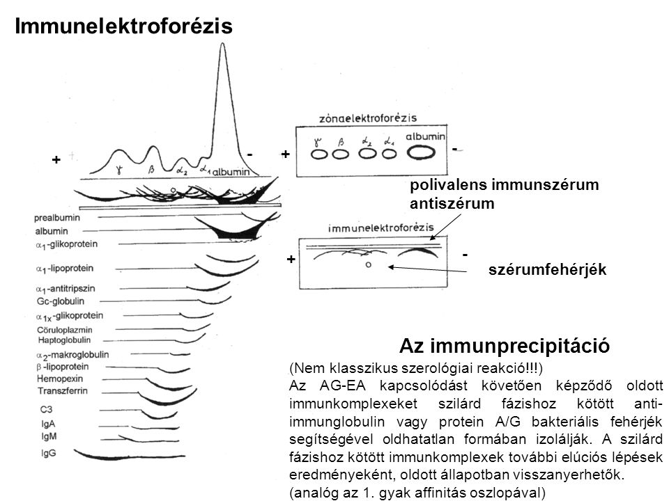 Immunelektroforézis Az immunprecipitáció - - + + - +