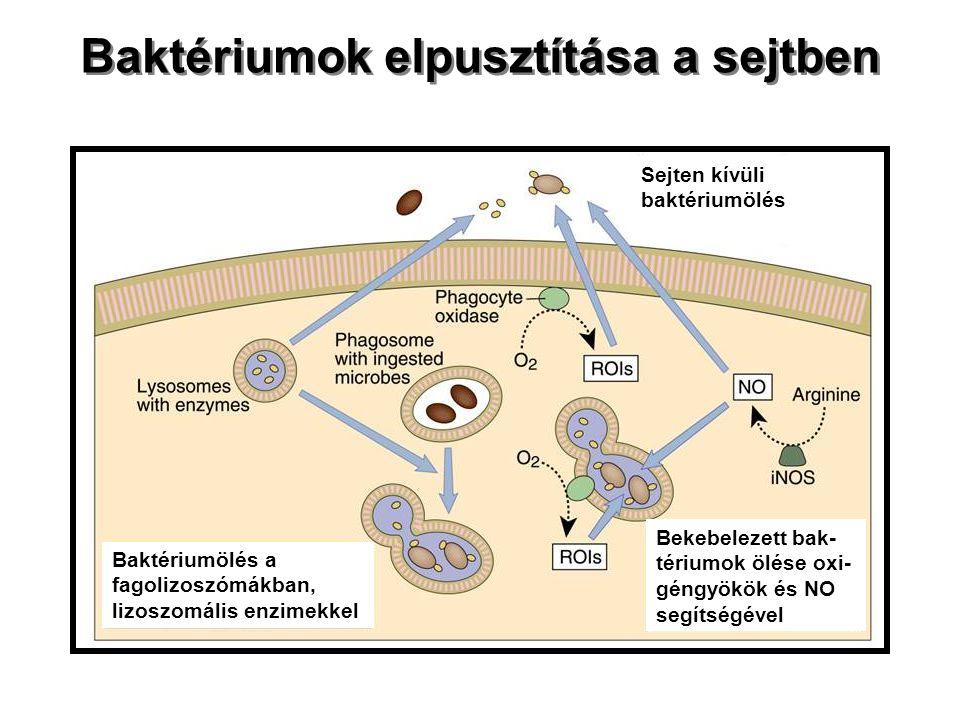 Baktériumok elpusztítása a sejtben