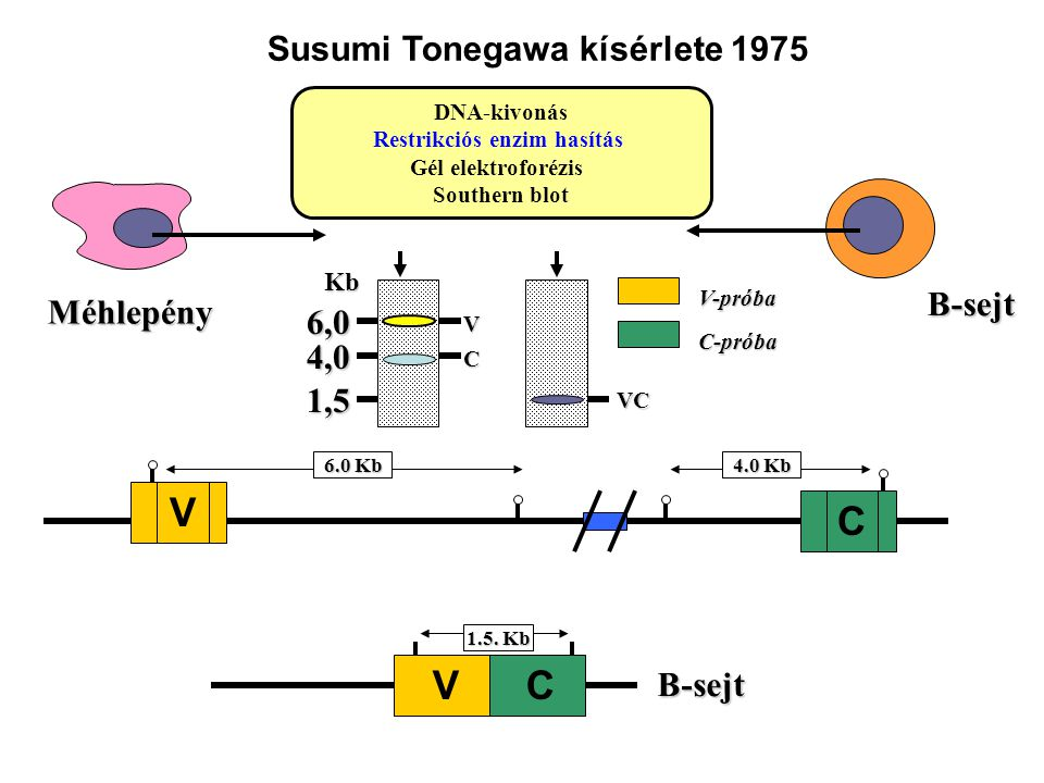 Susumi Tonegawa kísérlete 1975 Restrikciós enzim hasítás