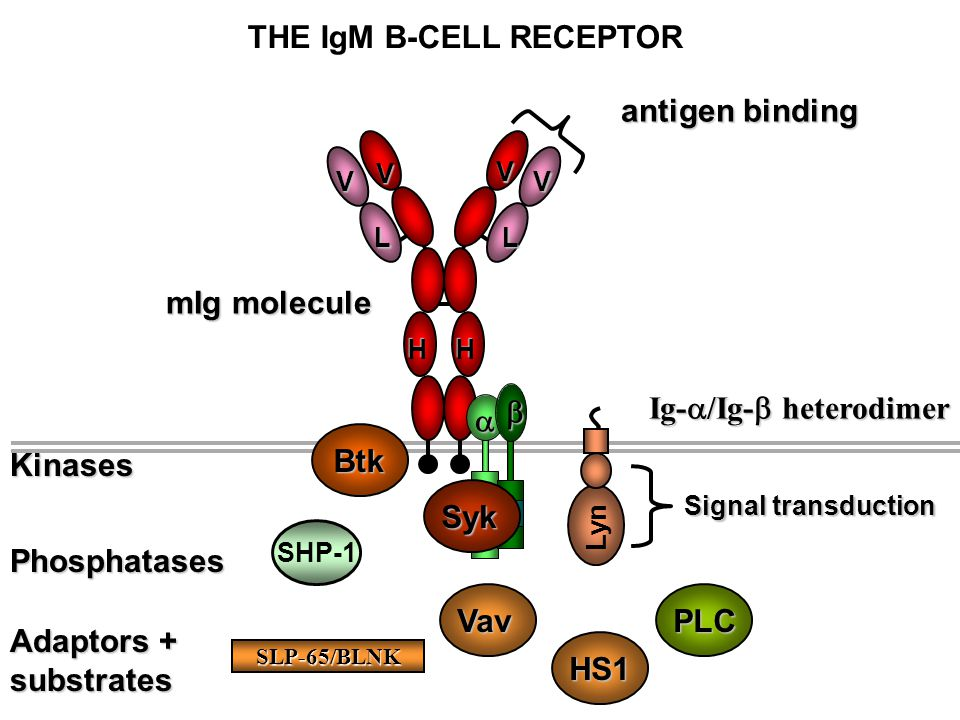 THE IgM B-CELL RECEPTOR