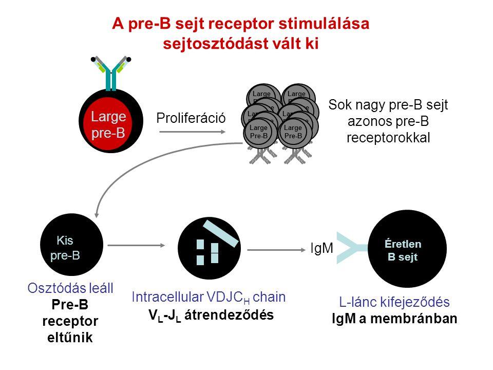 A pre-B sejt receptor stimulálása sejtosztódást vált ki