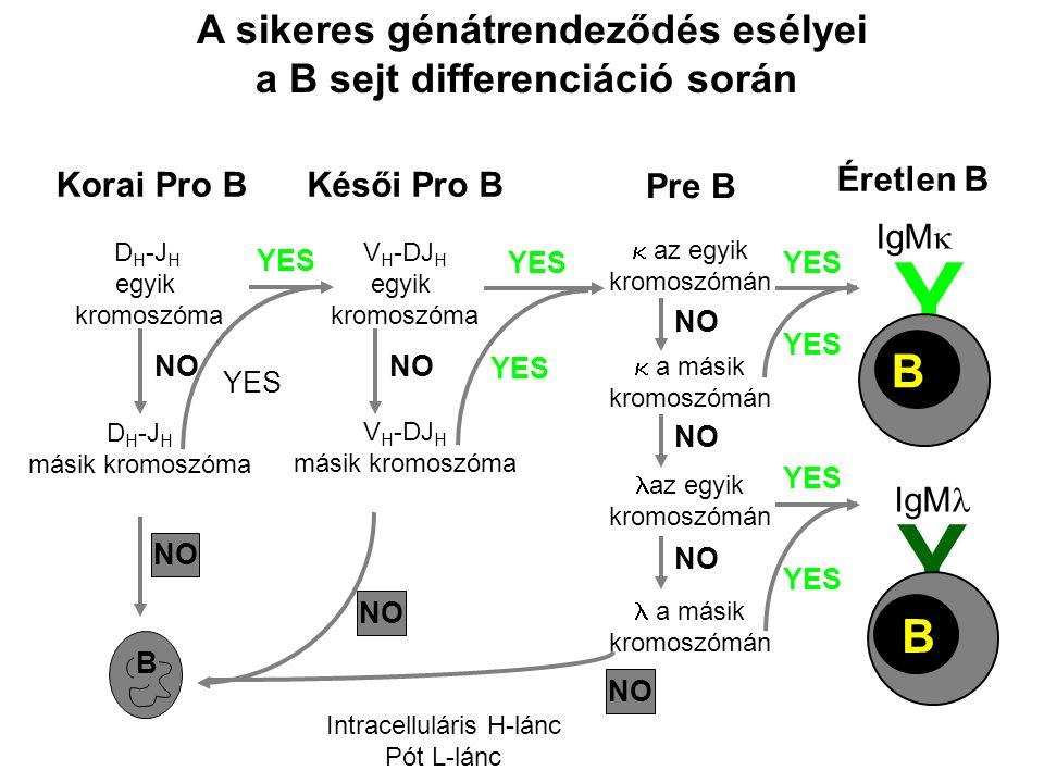 A sikeres génátrendeződés esélyei a B sejt differenciáció során