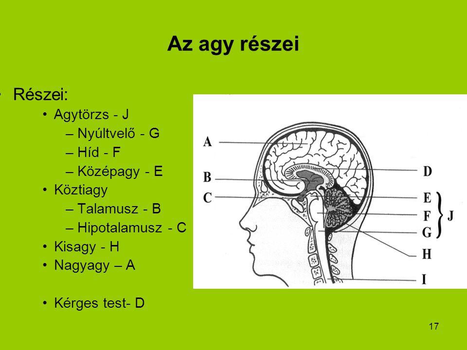 Az agy részei Részei: Agytörzs - J Nyúltvelő - G Híd - F Középagy - E