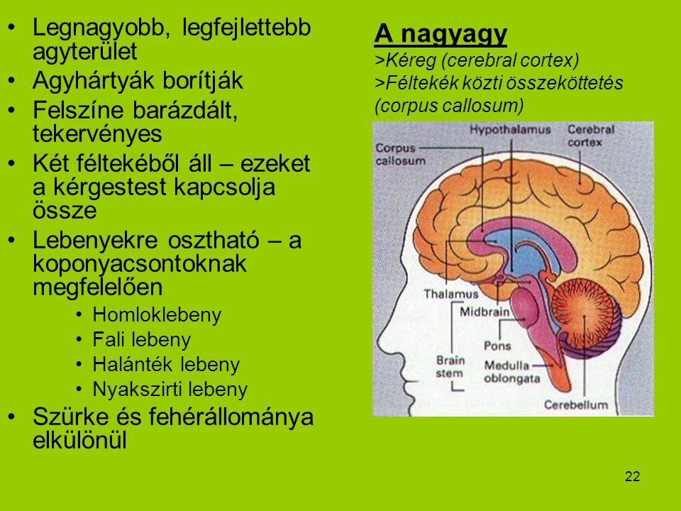 Legnagyobb, legfejlettebb agyterület