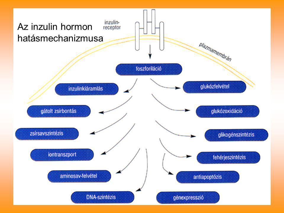 Az inzulin hormon hatásmechanizmusa