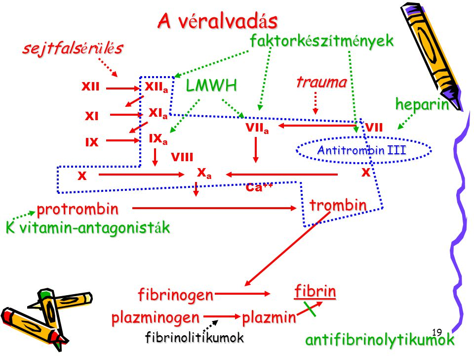 A véralvadás faktorkészítmények sejtfalsérülés trauma LMWH heparin