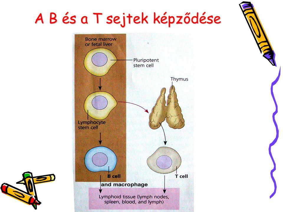 A B és a T sejtek képződése