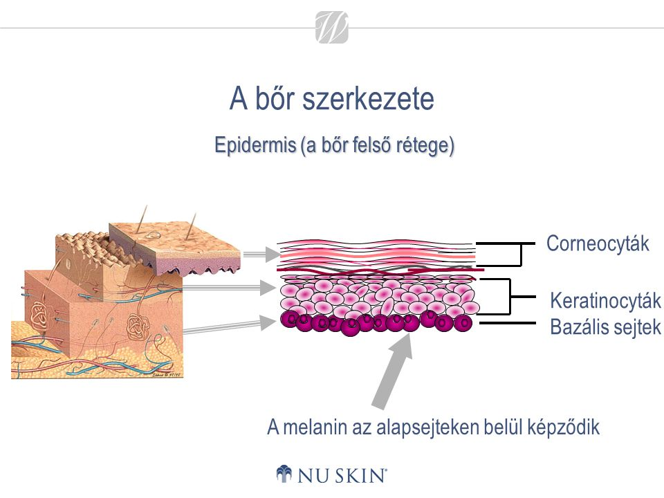 Epidermis (a bőr felső rétege)