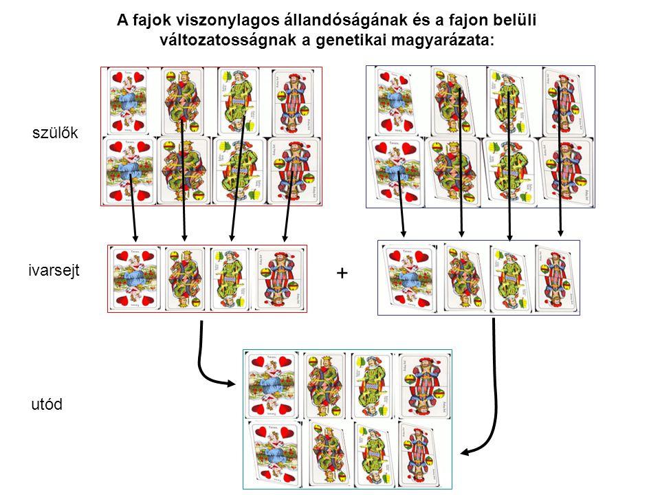 A fajok viszonylagos állandóságának és a fajon belüli változatosságnak a genetikai magyarázata: