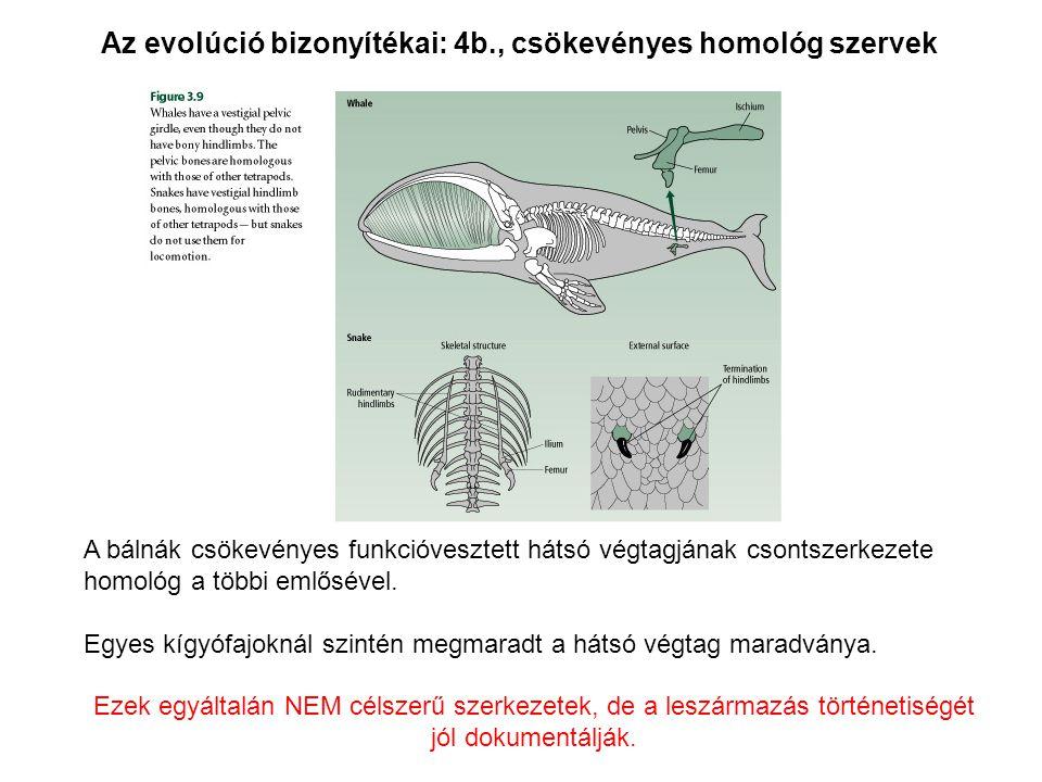 Az evolúció bizonyítékai: 4b., csökevényes homológ szervek