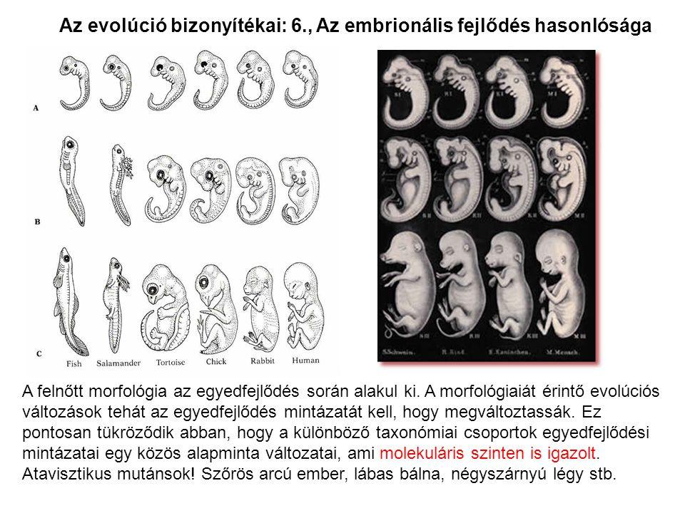 Az evolúció bizonyítékai: 6., Az embrionális fejlődés hasonlósága