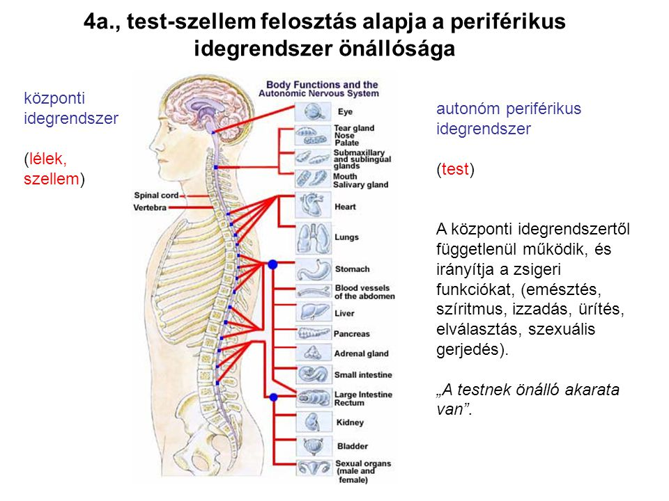 4a., test-szellem felosztás alapja a periférikus idegrendszer önállósága