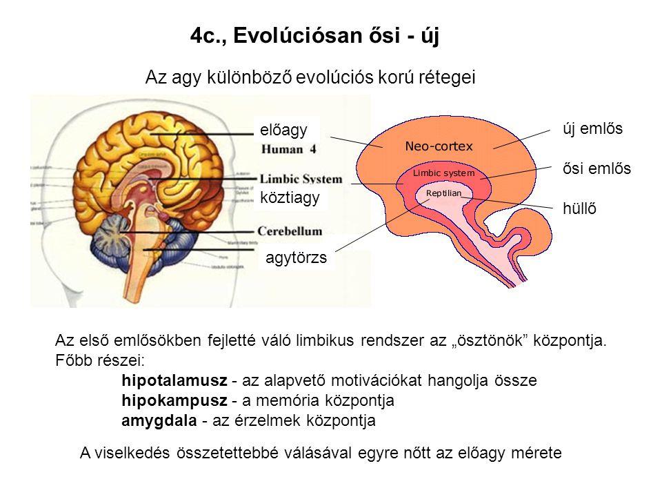 4c., Evolúciósan ősi - új Az agy különböző evolúciós korú rétegei