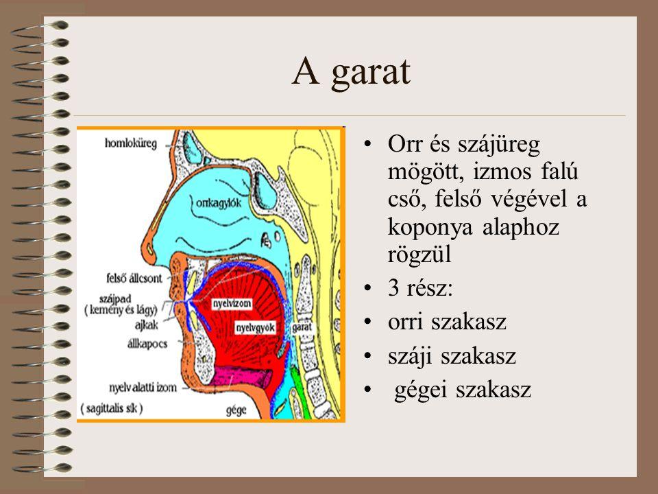A garat Orr és szájüreg mögött, izmos falú cső, felső végével a koponya alaphoz rögzül. 3 rész: orri szakasz.