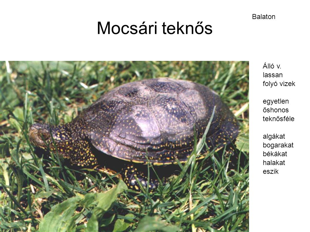 Mocsári teknős Balaton Álló v. lassan folyó vizek