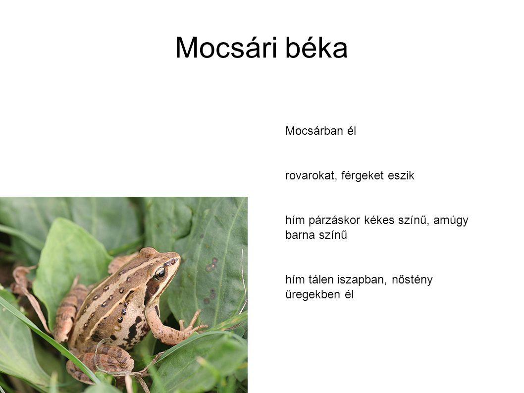 Mocsári béka Mocsárban él rovarokat, férgeket eszik
