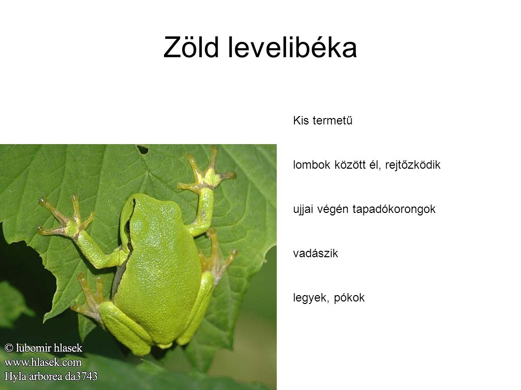 Zöld levelibéka Kis termetű lombok között él, rejtőzködik