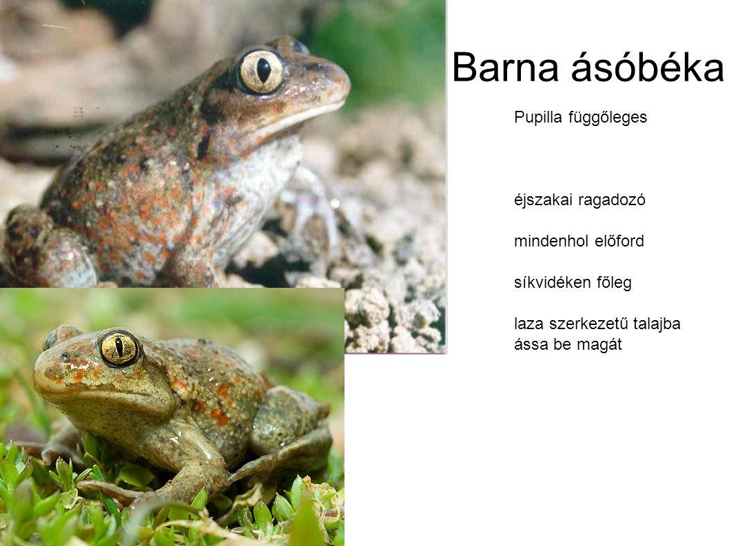 Barna ásóbéka Pupilla függőleges éjszakai ragadozó mindenhol előford