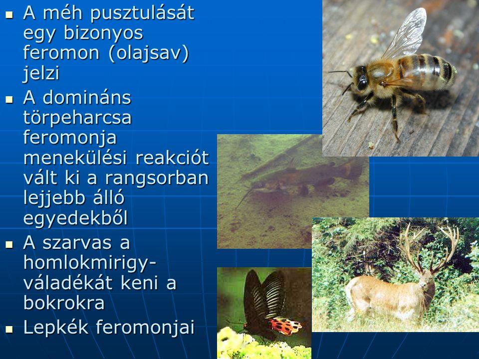 A méh pusztulását egy bizonyos feromon (olajsav) jelzi