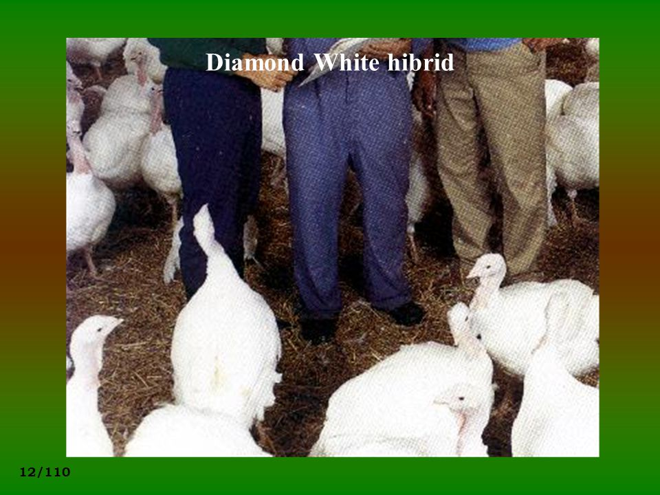 Diamond White hibrid