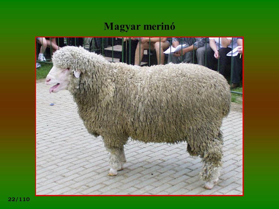 Magyar merinó