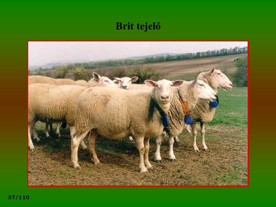 Brit tejelő