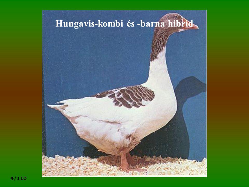Hungavis-kombi és -barna hibrid
