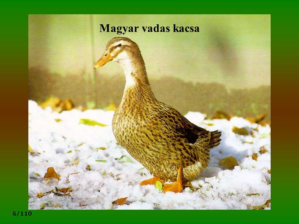 Magyar vadas kacsa