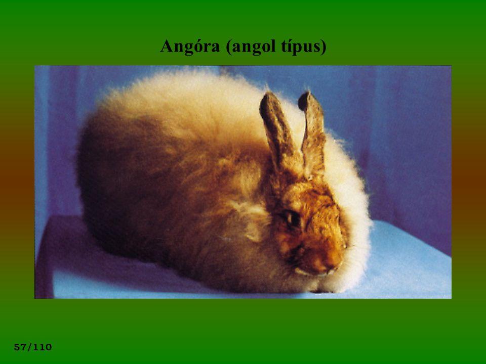 Angóra (angol típus)