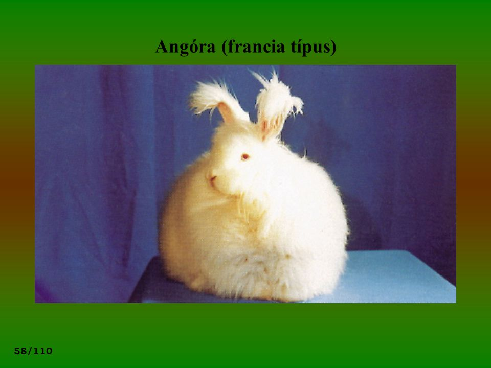 Angóra (francia típus)