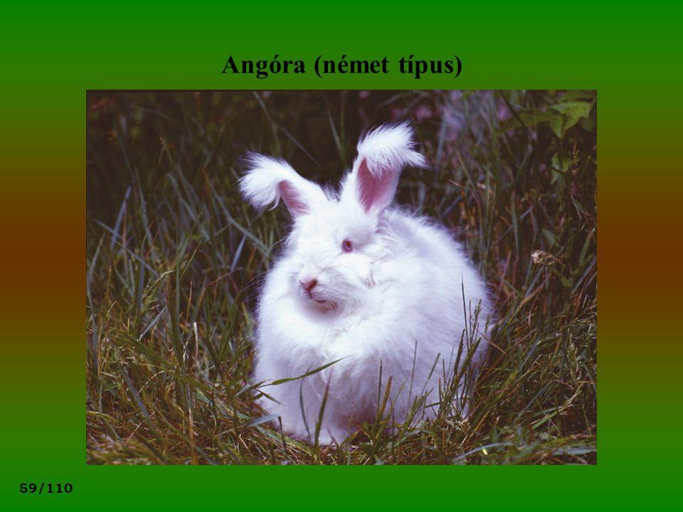 Angóra (német típus)