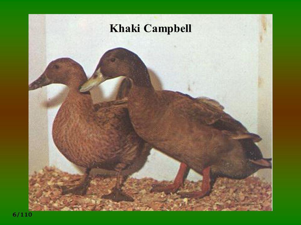Khaki Campbell