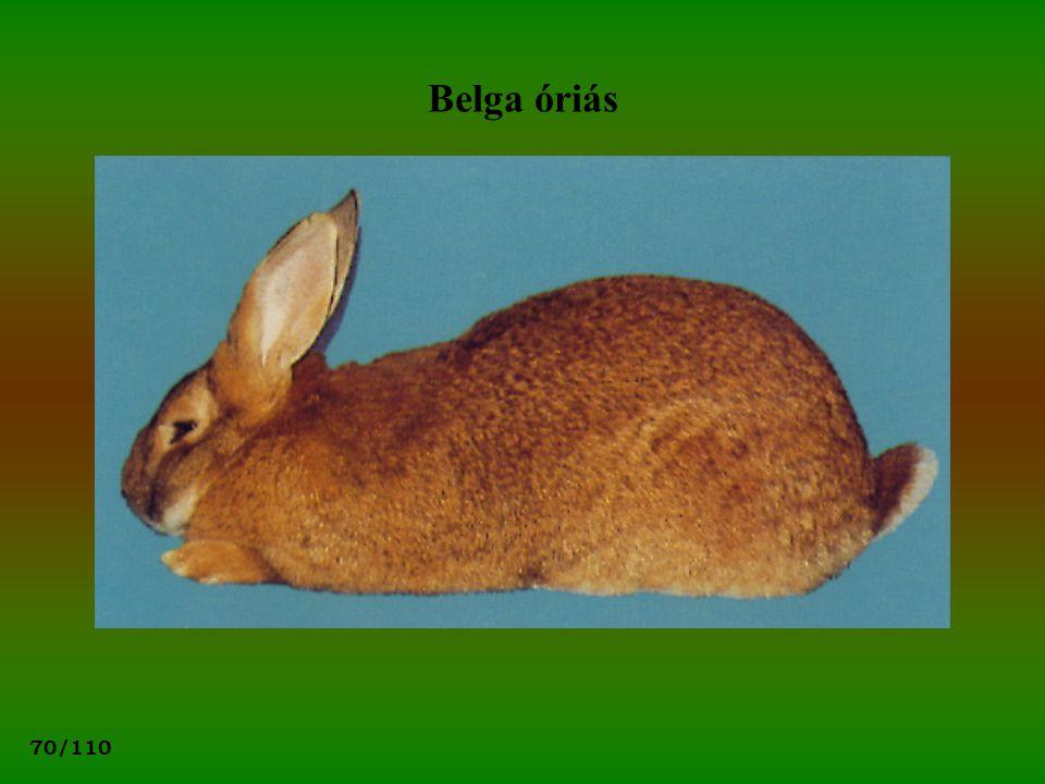 Belga óriás