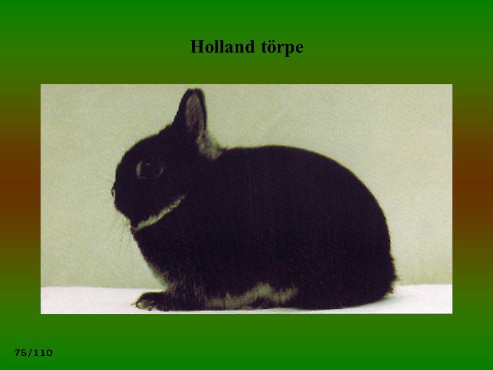 Holland törpe