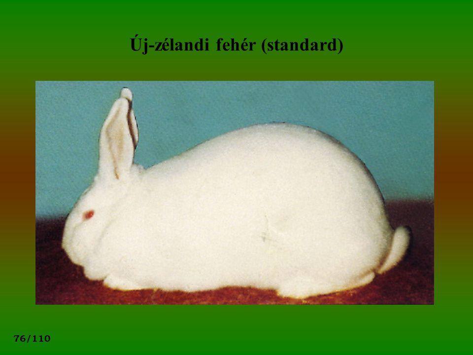 Új-zélandi fehér (standard)