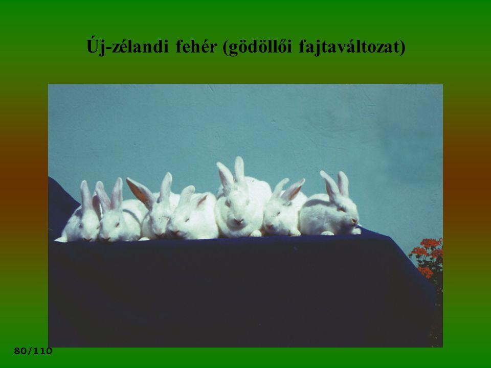 Új-zélandi fehér (gödöllői fajtaváltozat)