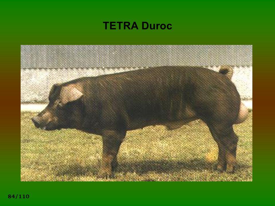 TETRA Duroc