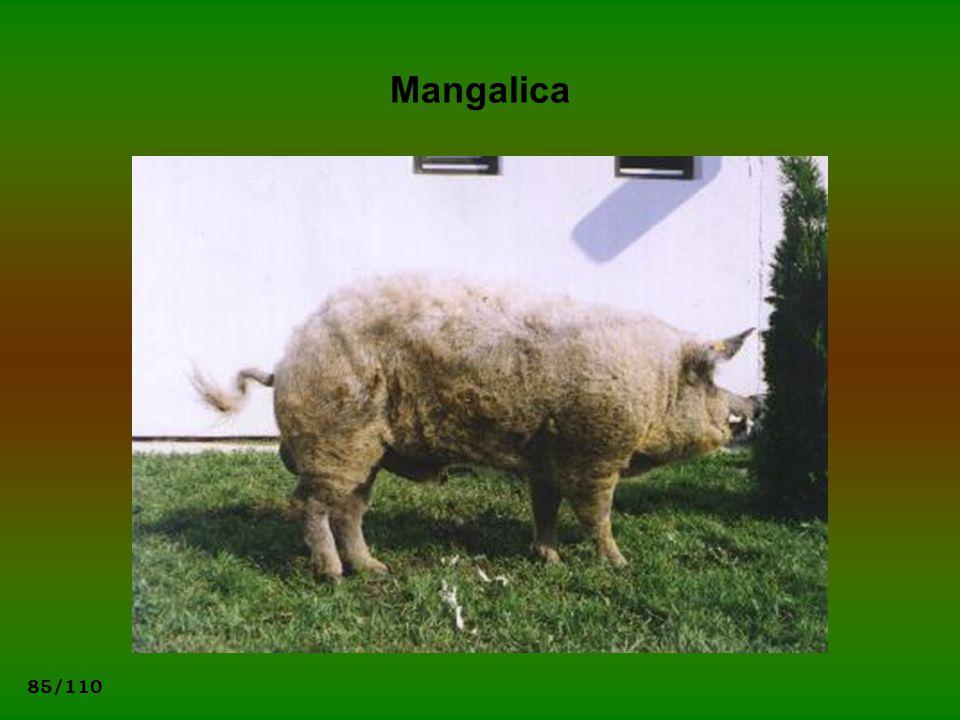 Mangalica