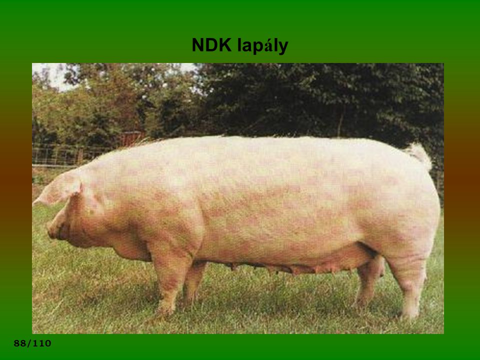 NDK lapály