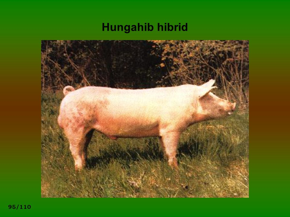 Hungahib hibrid