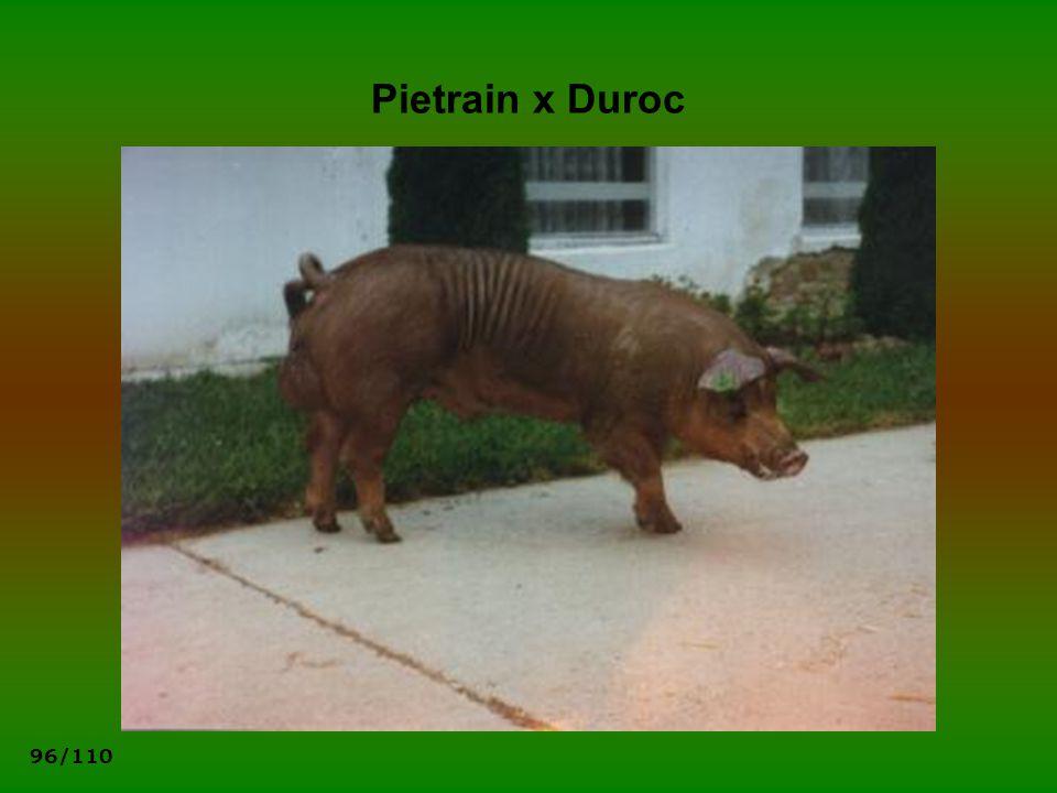 Pietrain x Duroc