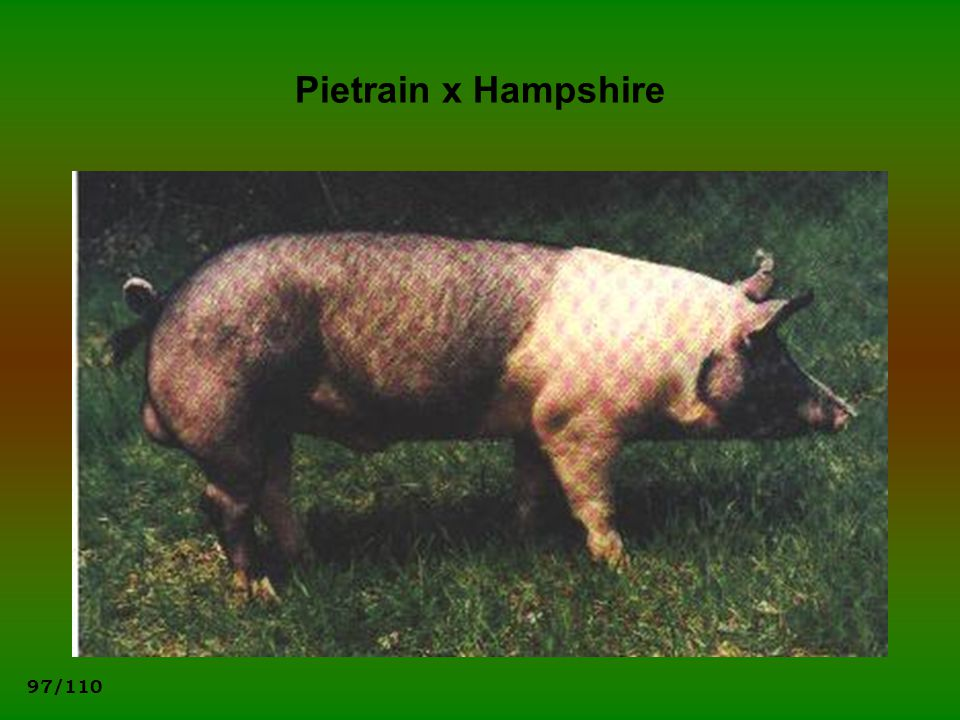 Pietrain x Hampshire