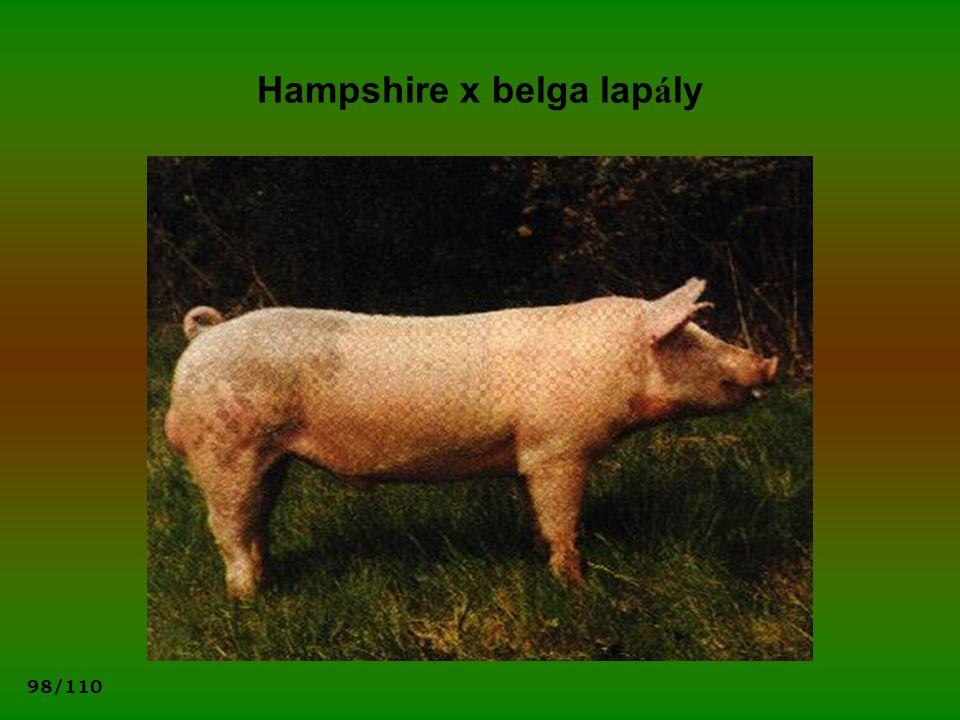Hampshire x belga lapály