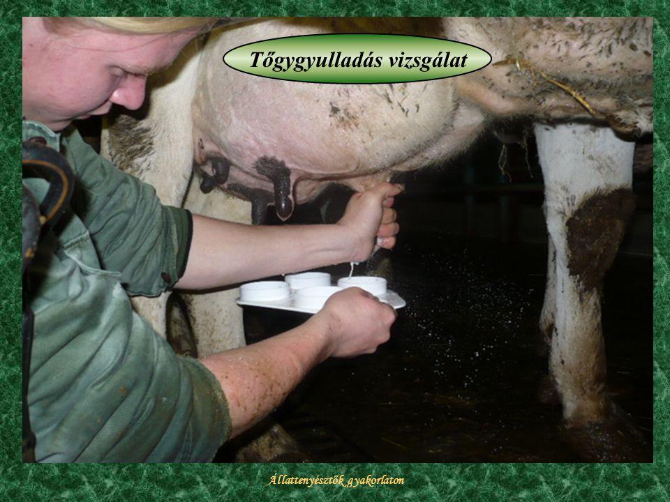 Tőgygyulladás vizsgálat Állattenyésztők gyakorlaton