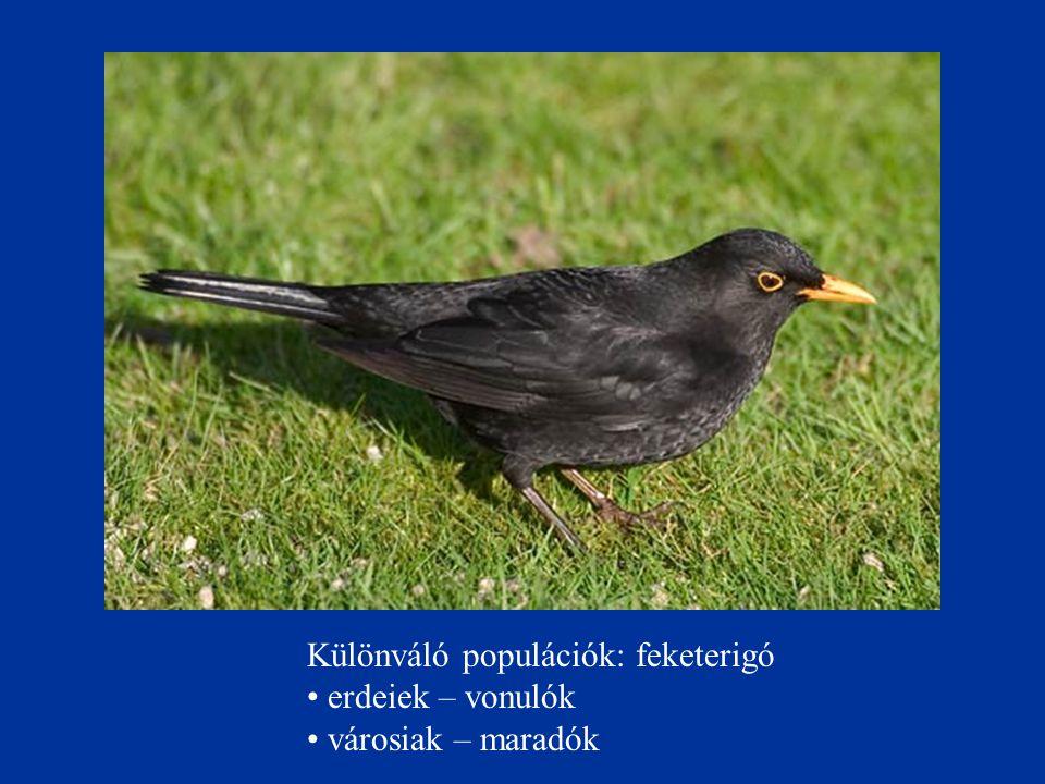 Különváló populációk: feketerigó