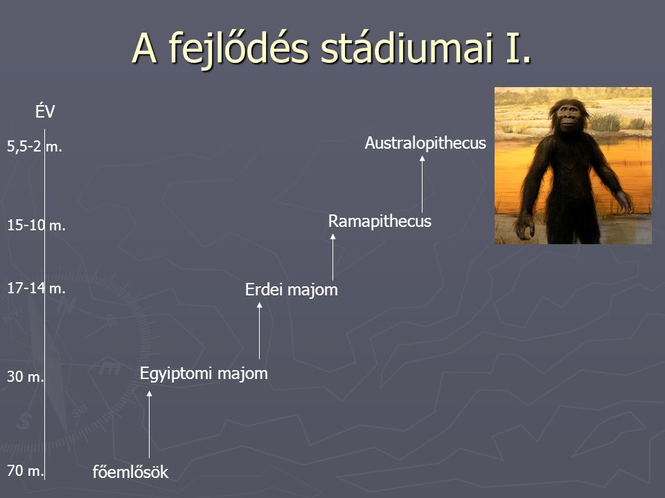 A fejlődés stádiumai I. ÉV Australopithecus Ramapithecus Erdei majom